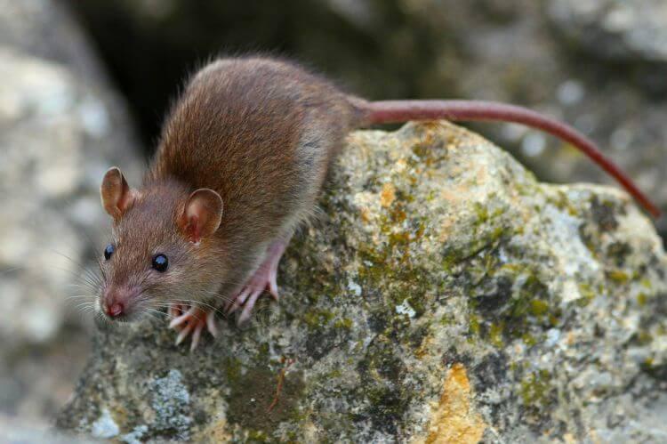 Dératisation rats