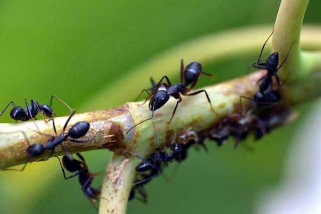 image fourmis noires