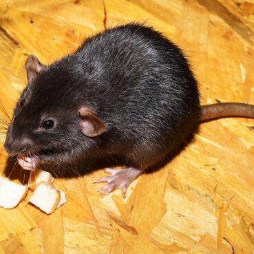 Dératisation rat et sourie